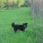Domino sniffing out wild hogs - Spring 2012