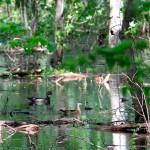 Wood ducks roosting