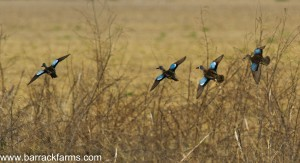 Blue wing teal setting for landing