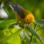 Prothonotary Warbler in nesting mode