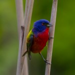 Painted Bunting 6
