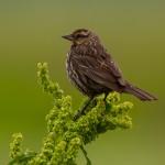 Redwing Blackbird Female
