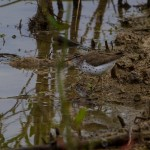 Spotted Sandpiper looks for breakfast