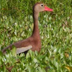 Whistlng Duck 1