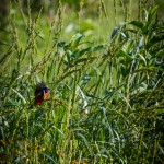 Painted Bunting eating wild millet