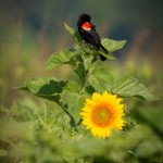 Red winged blackbird on sunflowers
