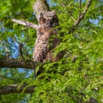Fledgling Horned Owl