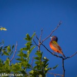 Painted Bunting Singing